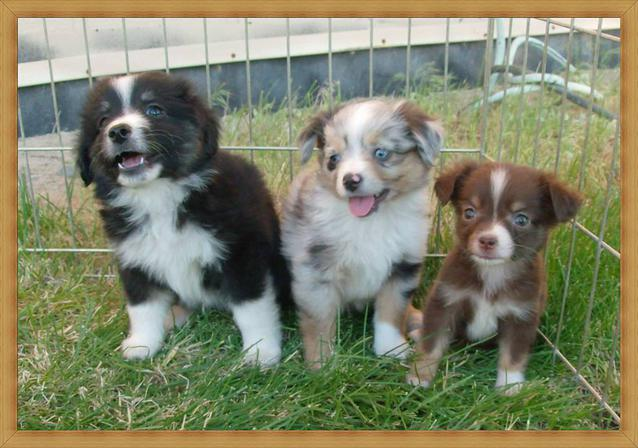 Mini-and-Toy-Aussies-Available